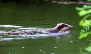 dachs-schwimmt
